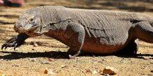 Wisata Komodo Makin Digemari
